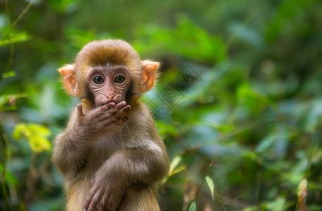 张家界可爱的猴子图片