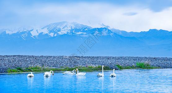 雪山下的天鹅图片