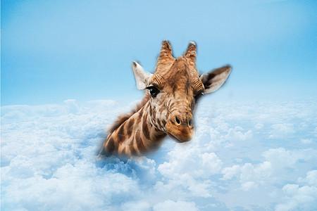 探到云上呼吸的长颈鹿图片