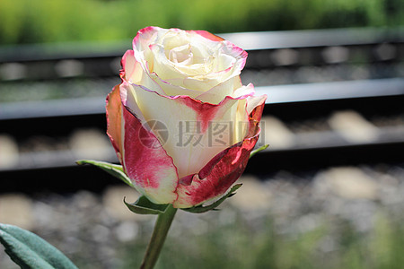 野地的一枝粉玫瑰图片