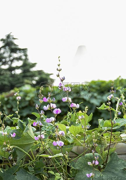 菜园里的豆芽花摄影图片免费下载_花草树木图库大全图片