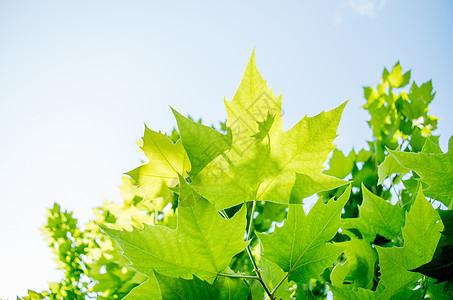阳光下发光的梧桐叶图片