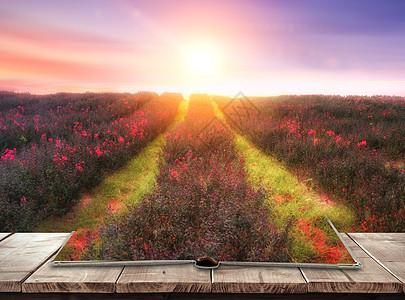 日出下的薰衣草园图片
