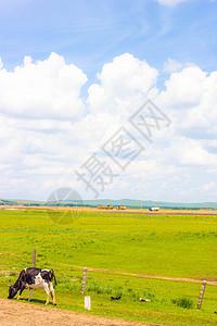 内蒙草原上的一只奶牛图片