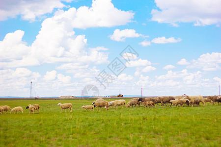 赤峰草原上的一群羊图片
