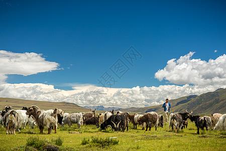 西藏草原上的羊群图片免费下载图片