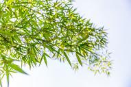 蓝天下的竹叶图片