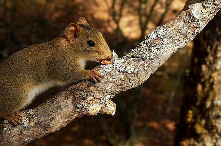 云南-山松鼠-啮齿目松鼠科Sciuridae图片