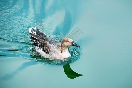 水上游 的鸭子图片