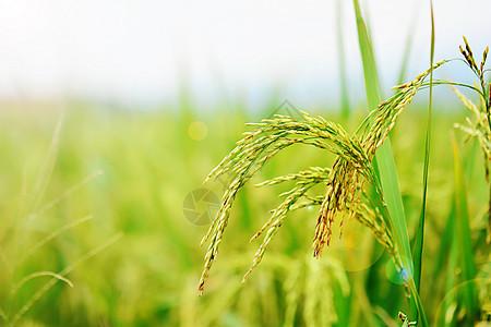 稻谷成熟的田野图片