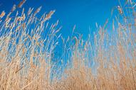 蓝天下的芦苇图片