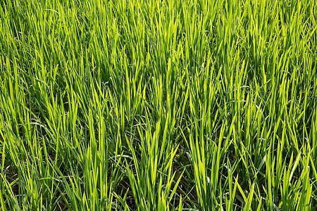 发光的稻子图片