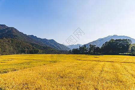 芒种时节金色麦田稻田图片