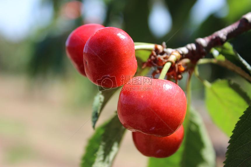 大樱桃图片