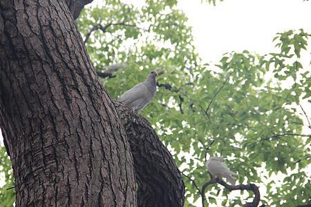 西湖鸽子图片