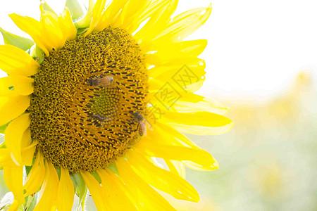盛开的向日葵图片