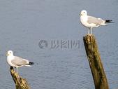海滩的海鸥图片