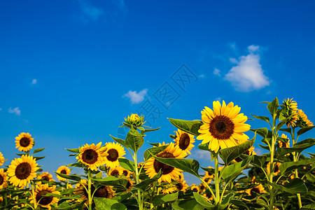 蓝天下的向日葵图片