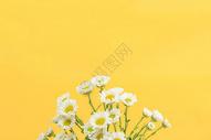 黄色背景上的小雏菊图片