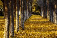 落叶满地的银杏林图片