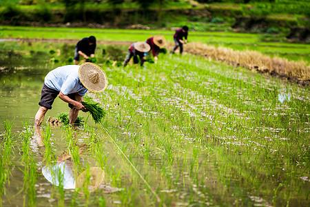 插秧的农民伯伯们图片