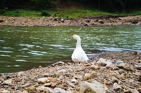 夏天河边的大白鹅图片