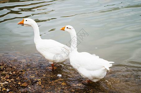夏天的大白鹅图片