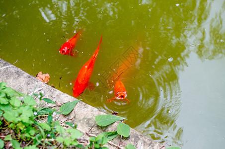 游出水面呼吸的红色锦鲤图片