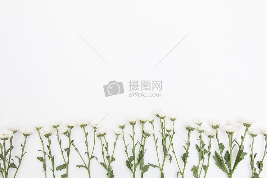 小雏菊鲜花留白背景摄影图片免费下载_背景/素材图库