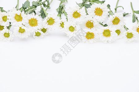 小雏菊鲜花留白背景图片