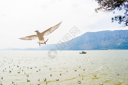 云南-滇池的海鸥图片