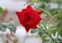 雨后的玫瑰图片
