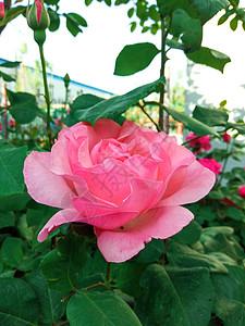 淡粉色月季花图片
