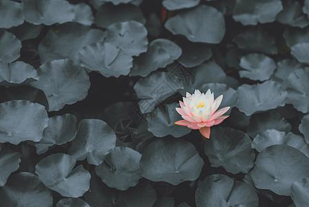 暗黑系莲花图片