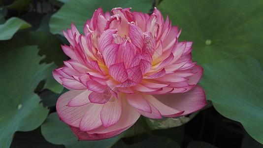 粉色荷花花瓣荷叶池塘植物图片
