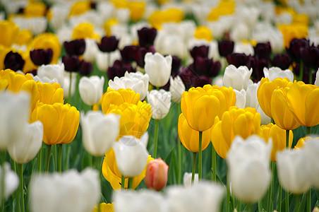 郁金香花丛图片