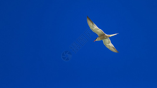 蓝天中展翅翱翔的海鸟图片