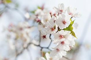 盛开的樱花图片图片