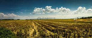 秋收的稻田图片