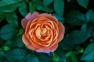 橘色的月季花图片
