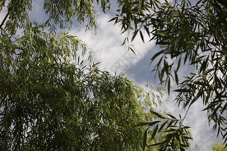 校园一角的柳树图片