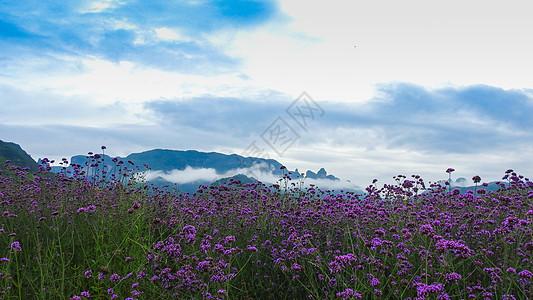 高山云雾下的马鞭草田图片