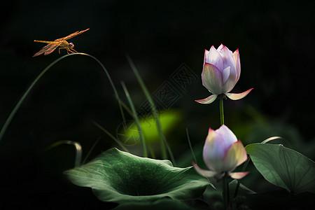 蜻蜓和荷花图片