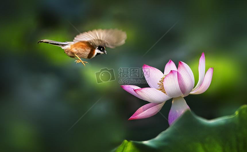 唯美图片 自然风景 喜鹊和荷花jpg  分享: qq好友 微信朋友圈 qq空间