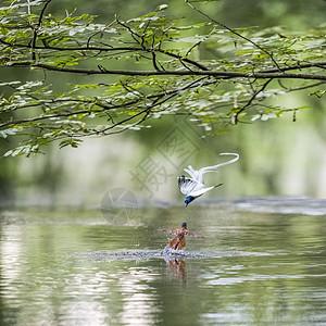 两只鸟的水中邂逅图片