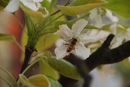 蜜蜂梨花图片