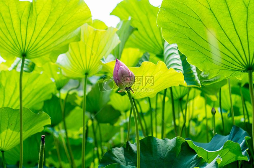 标签: 荷叶荷花绿色清新夏天壁纸满屏的荷叶图片满屏的荷叶图片免费