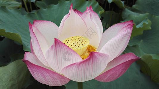 粉色出水芙蓉荷花与鹅黄色花蕊图片