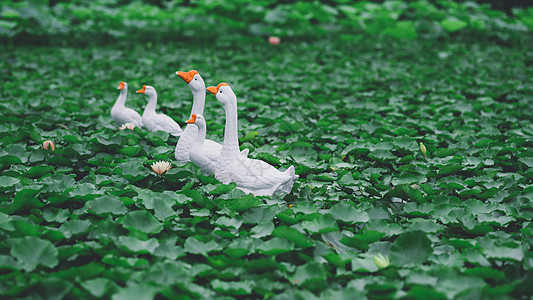 荷塘白鹅图片