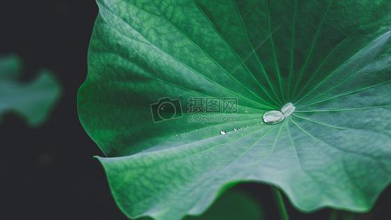 荷叶露水水珠图片